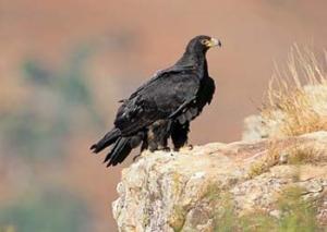 black-eagle-90-s-39